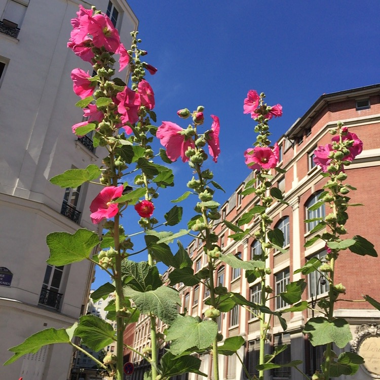 Semaine I- Roses trémières