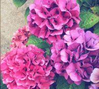 vacances - Fouras - hortensias
